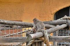 Ιαπωνικό cub macaque μαθαίνει τον κόσμο γύρω από μας Στοκ Φωτογραφία