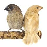Ιαπωνικό Finch, που απομονώνεται στο άσπρο υπόβαθρο στοκ εικόνα