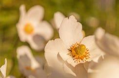 Ιαπωνικό hupehensis Anemone Στοκ φωτογραφία με δικαίωμα ελεύθερης χρήσης