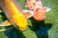 ιαπωνικό koi ψαριών Στοκ εικόνες με δικαίωμα ελεύθερης χρήσης