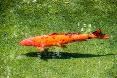 ιαπωνικό koi ψαριών Στοκ εικόνα με δικαίωμα ελεύθερης χρήσης