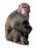 ιαπωνικό macaca fuscata macaque Στοκ Φωτογραφίες
