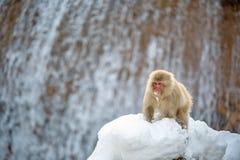 Ιαπωνικό macaque στην πέτρα, κοντά στα φυσικά καυτά ελατήρια Επιστημονικό όνομα: Fuscata Macaca, επίσης γνωστό ως πίθηκος χιονιού στοκ εικόνα