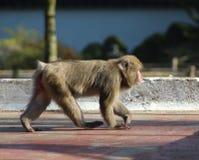 Ιαπωνικό macaque στην πόλη Στοκ Φωτογραφίες