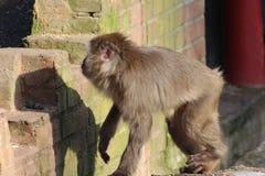 Ιαπωνικό macaque στην πόλη Στοκ φωτογραφίες με δικαίωμα ελεύθερης χρήσης