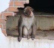 Ιαπωνικό macaque στην πόλη Στοκ φωτογραφία με δικαίωμα ελεύθερης χρήσης