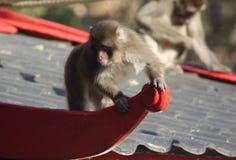 Ιαπωνικό macaque στο σπίτι Στοκ εικόνα με δικαίωμα ελεύθερης χρήσης