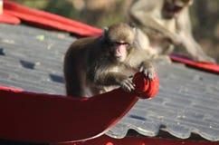 Ιαπωνικό macaque στο σπίτι Στοκ εικόνες με δικαίωμα ελεύθερης χρήσης