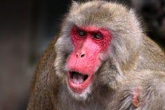 ιαπωνικό macaque Στοκ Φωτογραφία