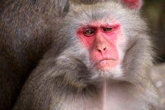 ιαπωνικό macaque Στοκ εικόνες με δικαίωμα ελεύθερης χρήσης