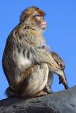 ιαπωνικό macaque Στοκ φωτογραφία με δικαίωμα ελεύθερης χρήσης