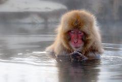 ιαπωνικό macaque Στοκ Φωτογραφίες