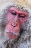 Ιαπωνικό Macaques Στοκ φωτογραφίες με δικαίωμα ελεύθερης χρήσης
