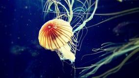 Ιαπωνικό nettle θάλασσας ζελατίνας θάλασσας Στοκ εικόνες με δικαίωμα ελεύθερης χρήσης