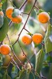 Ιαπωνικό persimmon δέντρο με τα φρούτα Στοκ Φωτογραφία