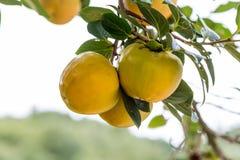 Ιαπωνικό persimmon δέντρο (kaki) με τα φρούτα Στοκ Φωτογραφία