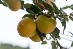 Ιαπωνικό persimmon δέντρο (kaki) με τα φρούτα Στοκ εικόνες με δικαίωμα ελεύθερης χρήσης