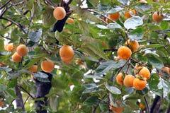Ιαπωνικό persimmon δέντρο (kaki) Στοκ Εικόνες