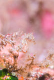 Ιαπωνικό pygmy seahorse Στοκ φωτογραφίες με δικαίωμα ελεύθερης χρήσης