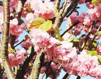 ιαπωνικό sakura κερασιών ανθών Στοκ εικόνες με δικαίωμα ελεύθερης χρήσης