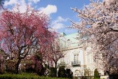 ιαπωνικό sakura κερασιών ανθών Στοκ Εικόνα