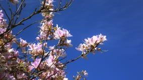 ιαπωνικό sakura κερασιών ανθών φιλμ μικρού μήκους