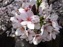 Ιαπωνικό sakura Στοκ Εικόνες