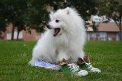 Ιαπωνικό Spitz σκυλί στα αθλητικά παπούτσια Στοκ Εικόνες