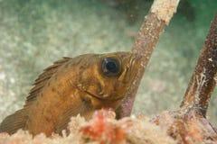 ιαπωνικό stingfish Στοκ Φωτογραφία