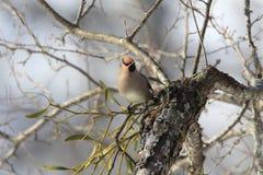 Ιαπωνικό Waxwing στον κλάδο του δέντρου Στοκ εικόνες με δικαίωμα ελεύθερης χρήσης