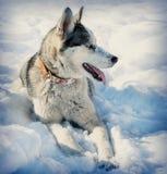 διασταυρώστε τη γεροδεμένη προεξέχουσα γλώσσα σκυλιών Στοκ Εικόνες