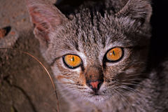 διασταύρωσης βρετανική μαλλιαρή φωτογραφία ματιών ματιών γατών στενή απότομα επάνω Στοκ εικόνα με δικαίωμα ελεύθερης χρήσης