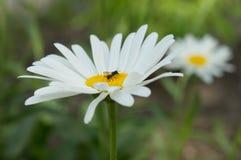 Ιατρικά χορτάρια λουλουδιών Chamomile στην κινηματογράφηση σε πρώτο πλάνο τομέων στοκ φωτογραφίες