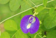 Ιατρικά χορτάρια λουλουδιών μπιζελιών πεταλούδων Στοκ Εικόνα