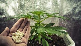 Ιατρικές εγκαταστάσεις μαριχουάνα που γίνονται εσωτερικές Χάπια στο θηλυκό χέρι στοκ φωτογραφίες με δικαίωμα ελεύθερης χρήσης