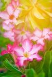 Ιατρικές εγκαταστάσεις λουλουδιών obesum Adenium με το θερμό ελαφρύ, μαλακό τόνο Στοκ Εικόνες