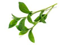 Ιατρικές εγκαταστάσεις Polygonum aviculare ή κοινά knotgrass Στοκ φωτογραφία με δικαίωμα ελεύθερης χρήσης