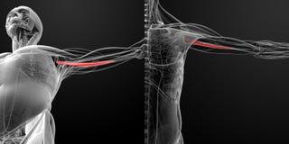 Ιατρική απεικόνιση των coracobrachialis Στοκ Εικόνες