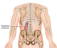 Ιατρική διανυσματική απεικόνιση μυών lumborum Quadratus στο άσπρο υπόβαθρο διανυσματική απεικόνιση