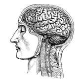 Ιατρική - το ανθρώπινο κεφάλι - βικτοριανό ανατομικό σχέδιο στοκ εικόνα με δικαίωμα ελεύθερης χρήσης