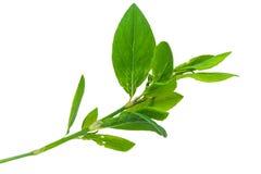 ιατρικό φυτό aviculare η απομόνωση το polygonum Στοκ φωτογραφία με δικαίωμα ελεύθερης χρήσης