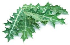 Ιατρικό Argemone mexicana ή μεξικάνικα φύλλα παπαρουνών Στοκ Εικόνες