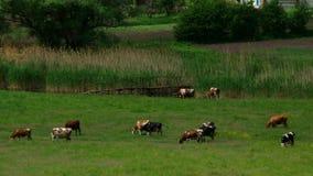 λιβάδι αγελάδων απόθεμα βίντεο