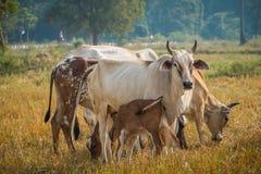 λιβάδι βοοειδών Στοκ Εικόνα