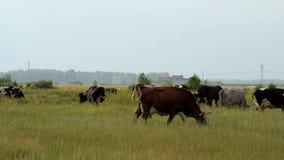 λιβάδι βοοειδών απόθεμα βίντεο