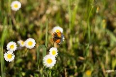 λιβάδι λουλουδιών πεταλούδων απογεύματος αργά φυσικό Στοκ φωτογραφία με δικαίωμα ελεύθερης χρήσης