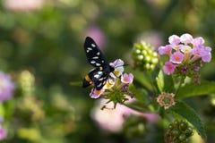 λιβάδι λουλουδιών πεταλούδων απογεύματος αργά φυσικό Στοκ εικόνα με δικαίωμα ελεύθερης χρήσης