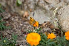 λιβάδι λουλουδιών πεταλούδων απογεύματος αργά φυσικό Στοκ φωτογραφίες με δικαίωμα ελεύθερης χρήσης