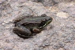 Ιβηρικός βάτραχος νερού - perezi Pelophylax Στοκ Φωτογραφίες
