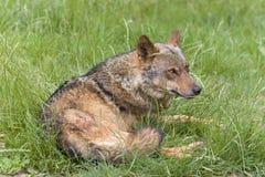 Ιβηρικό να βρεθεί λύκων που κρύβεται Στοκ Εικόνες
